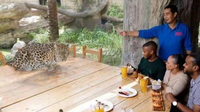 v zooparke abu dabi mozhno poobedat v kompanii leoparda